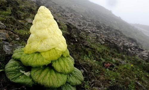 """为什么川藏线上的""""大白菜""""不可以采摘呢?看完心里有底了"""