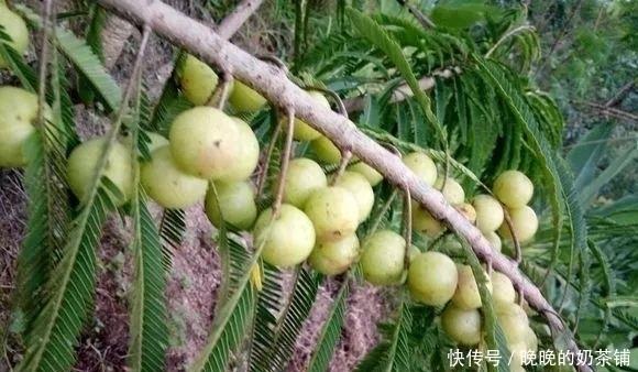 """『做成』路边的1种野果,人称""""油金子"""",味道酸甜,做成盆景价值高!"""