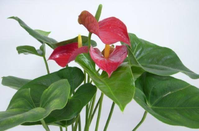 『红掌』学习红掌的种植方法,找出不开花的原因,学习正确的处理方法!