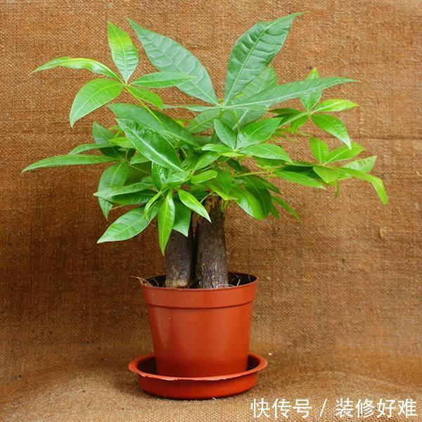 发财树养护要如何浇水才能更好的生长?