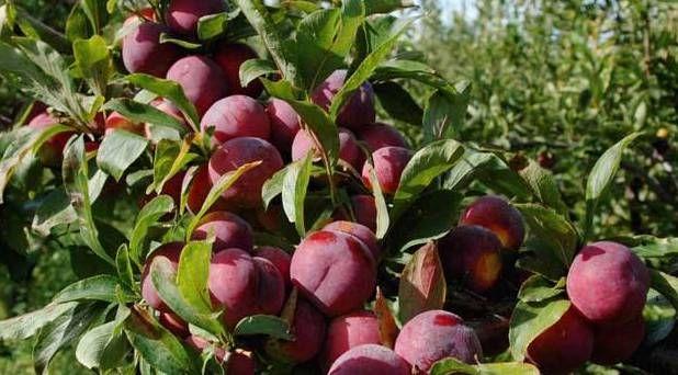 #夏天#夏天哪种水果更解渴?毫无疑问,李子是第一位的!