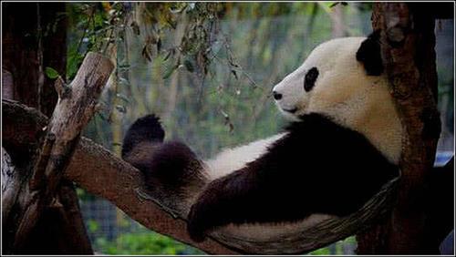 饲养员到点下班,来和大熊猫告别,结果被国宝的举动萌翻了