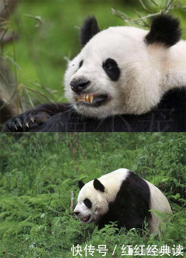 """为什么猛兽们不敢攻击大熊猫?听完它的""""曾用名""""你就明白了!"""
