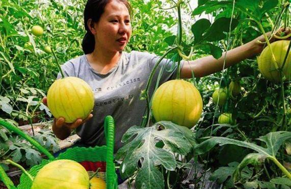 农村种植户种植这个赚钱,黄金西瓜颜色好看味