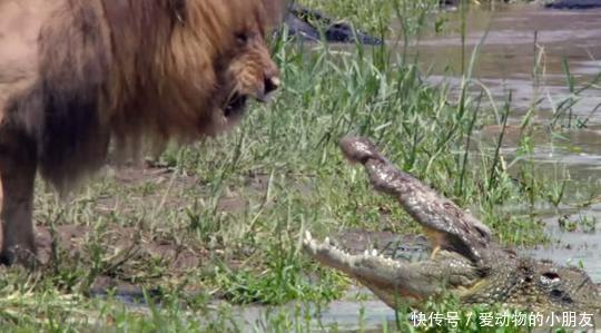 凶猛的狮子在河边为所欲为惹恼鳄鱼,与其对吼争辩,霸气完胜