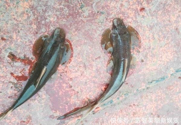 「偶遇」长江上游垂钓,偶遇了两位捕鱼人,于是便有幸见到了这种神奇的鱼