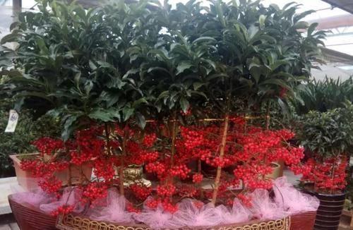 「养护的时」刚弄两盆黄金万两,红果子挂满枝头,养好了能旺家!