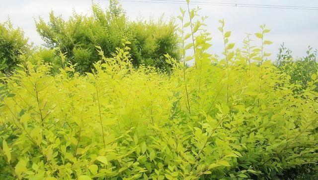 金叶榆常见病虫害防治方法来了