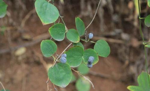 「利尿」一种藤蔓类植物不仅能利尿消肿、祛风除湿,还有降血压的作用