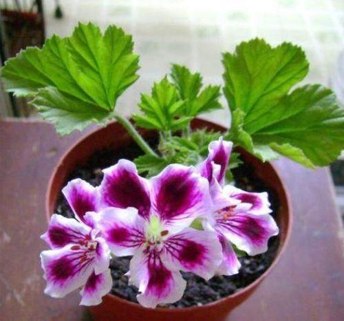 绿萝吊兰不想养?此3种花,花期长达365天,阳台成花海