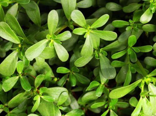 #春天#除蒲公英之外,这四种野菜也是抗癌良药,这个春天别错过!