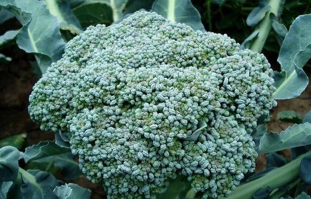 『种植朋友』西兰花是怎么种植的?种植时有什么要求