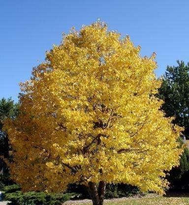 景观树木心叶椴繁殖及病虫害防治栽培技术