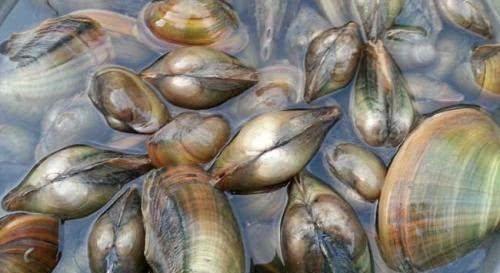 『后就把河蚌』炒河蚌时,这一步骤千万不能省,要不然咬不动嚼不烂,不鲜不好吃