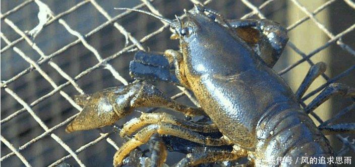 与小龙虾极为相似的生物, 价格是龙虾的5倍, 很少有人吃过!