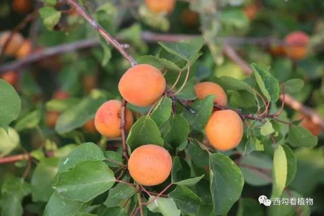 辛庄■辛庄植物100——杏