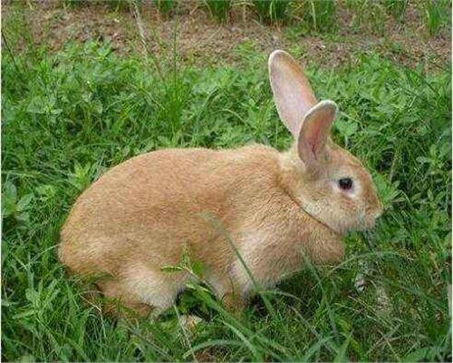 卢龙比利时杂交野兔养殖场好喂养