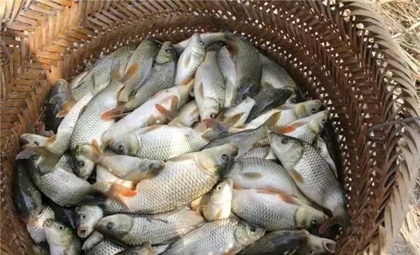 稻田里这种鱼,刺少无腥味,干鱼两百多元一斤,市场供不应求!