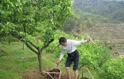 苹果春季花前追肥有技巧!时机、种类、用量、方法要正确!